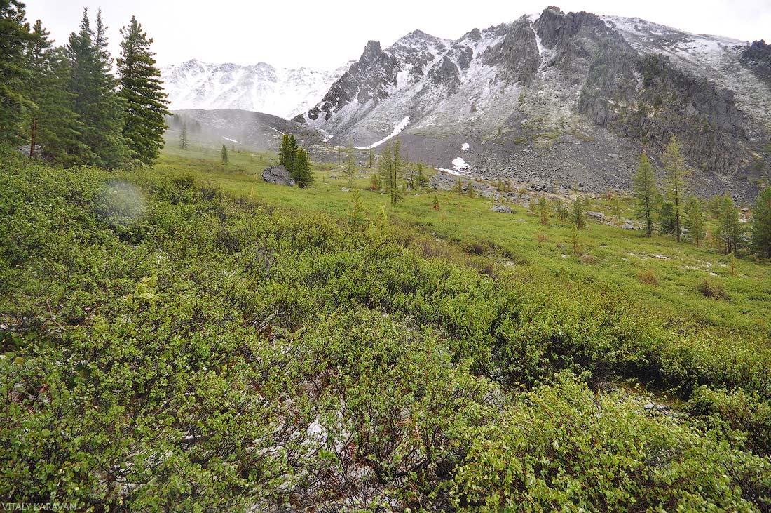 низкорослый кустарник Алтай июль