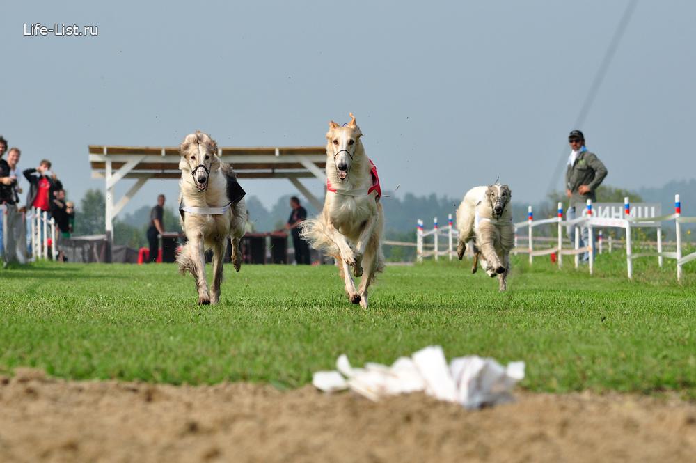 собачьи бега за зайцем русские борзые на кинодроме