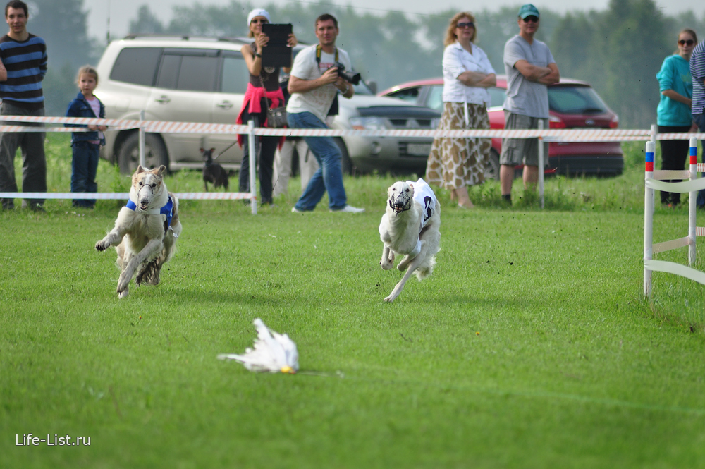 собачьи бега русские борзые несутся за механическим зайцем