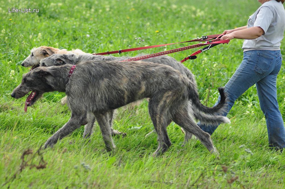 огромные ирландские волкодавы фото Виталий Караван
