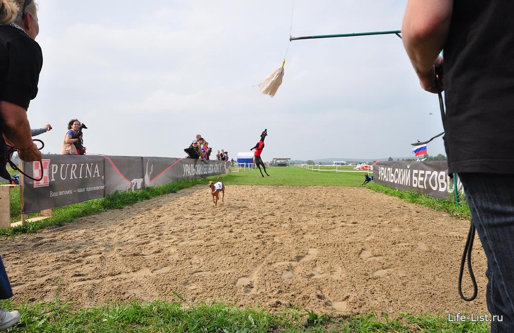 левретки на финише гонки за механическим зайцем фото Виталий Караван