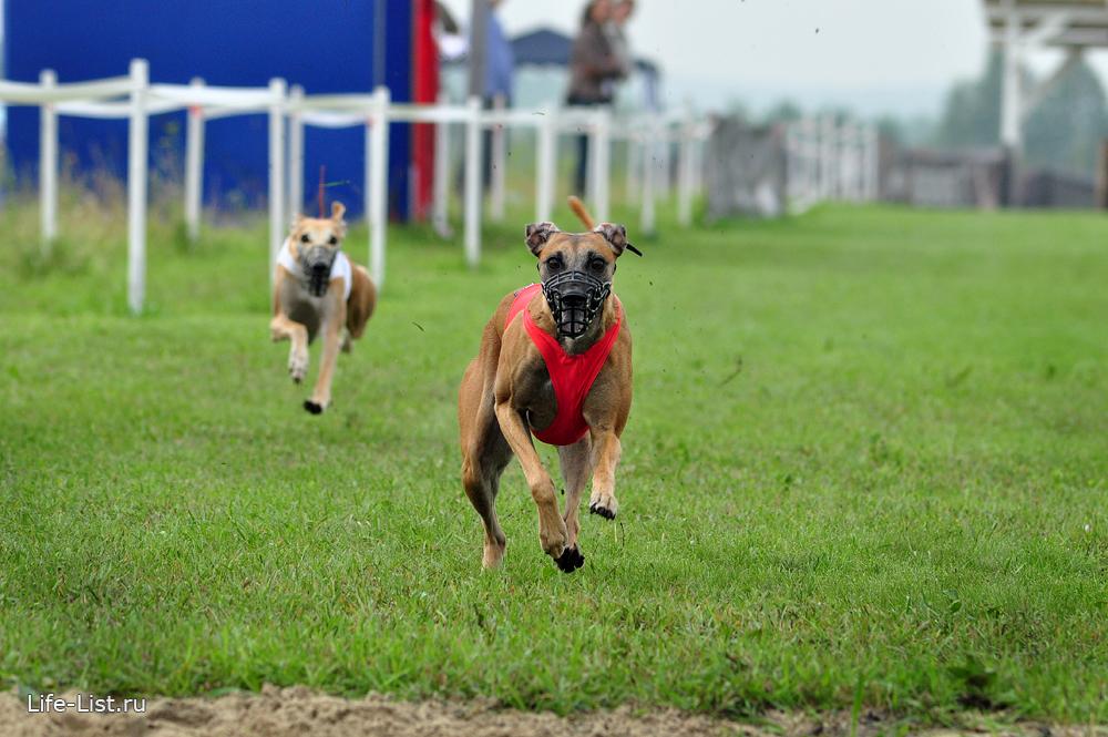 собачьи бега горный щит чемпионат