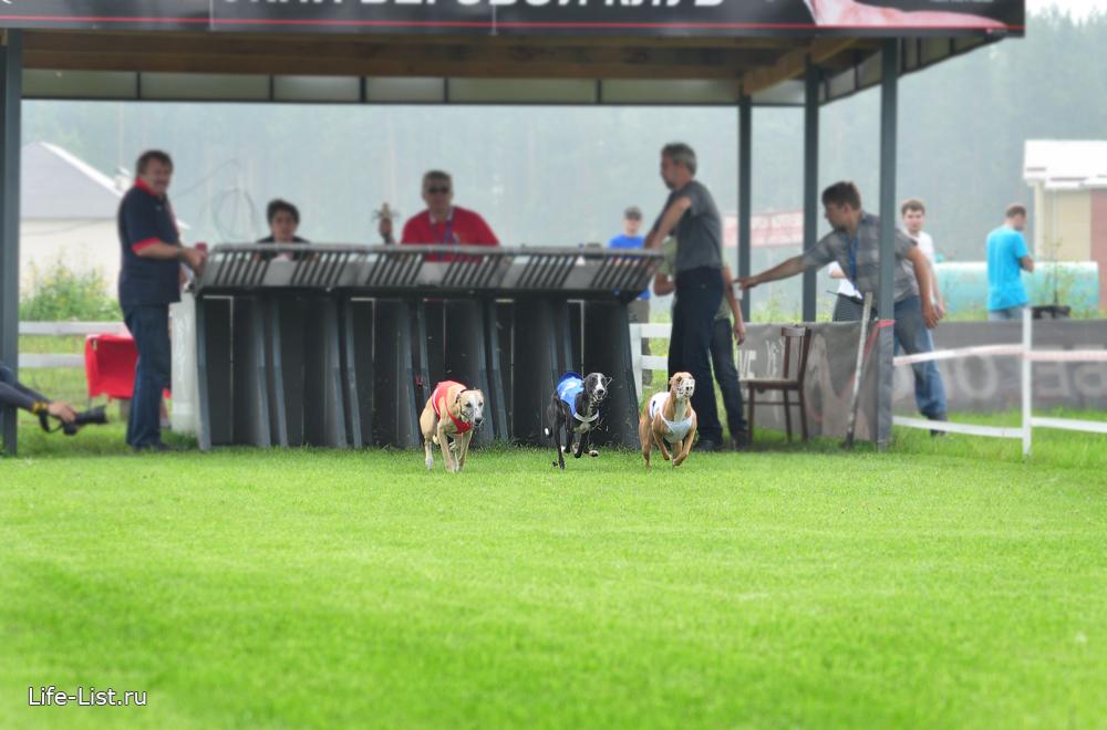 чемпионат по собачьим бегам 2013 году горный щит