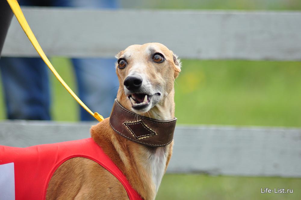 уиппет на собачьих бегах собака красивое фото