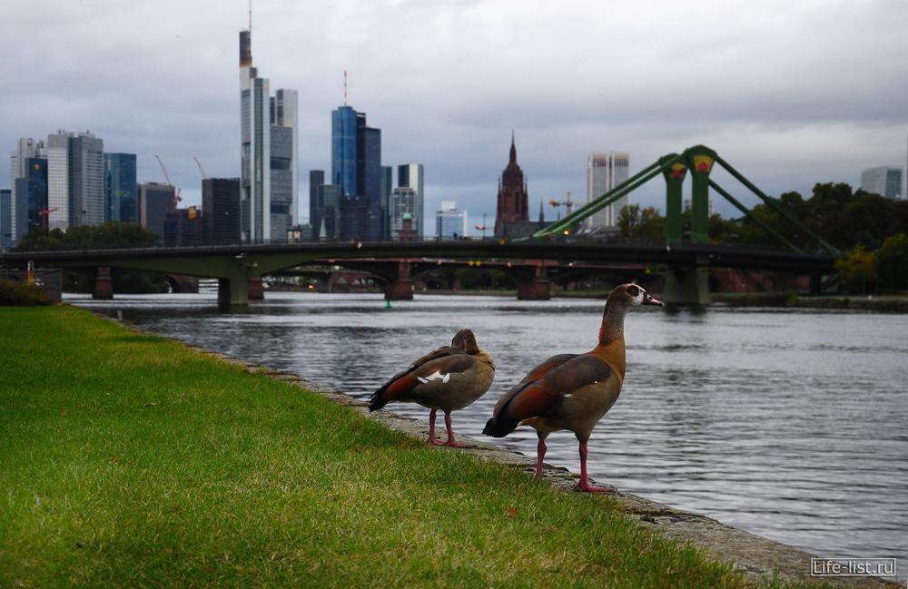 Вид на деловую часть Франкфурта небоскребы утки фото