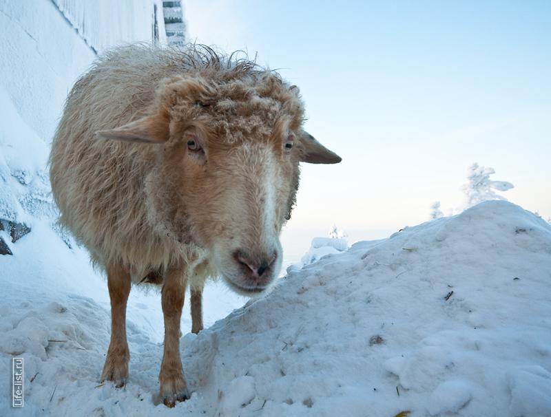 Овца фото Виталий Караван