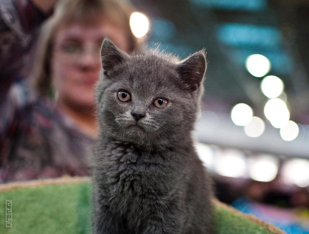 международная выставка кошек в Екатеринбурге фото Виталий Караван британский котенок