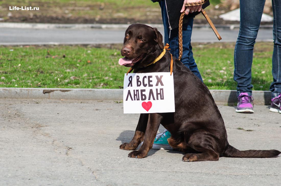 Добрый лабрадор собака на Монстрации 2014 Екатеринбург