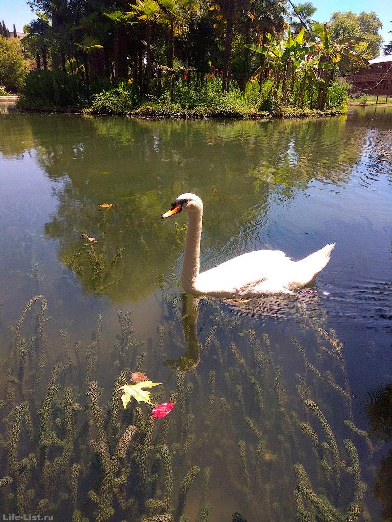 Приморский парк лебеди Новый Афон Абхазия фото лето