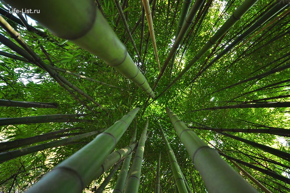 Бамбуковые заросли в сочи бамбук фото