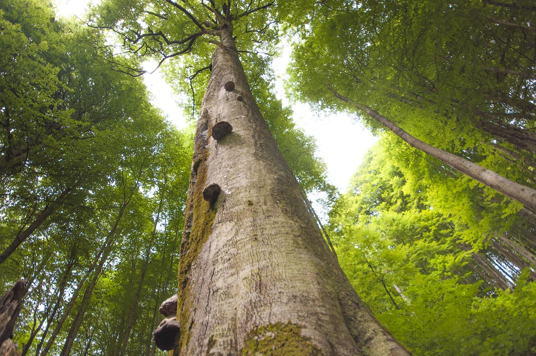 природа Абхазии дерево бук
