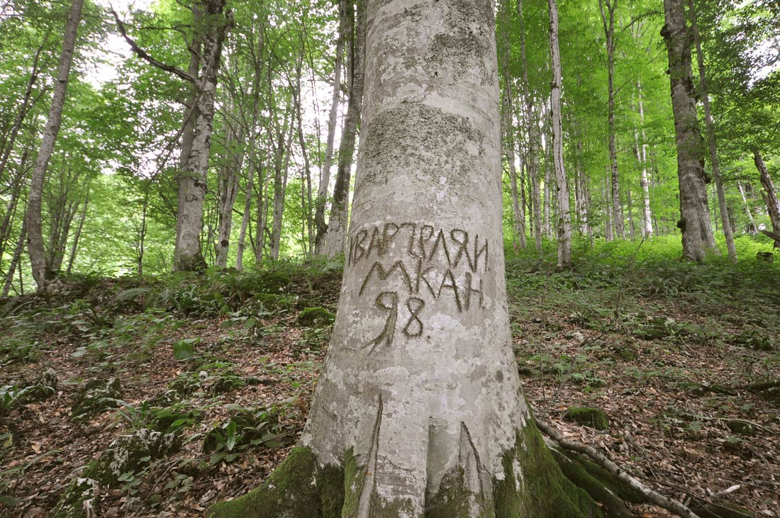 дерево бук Абхазия гудаутский район