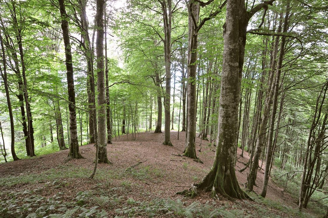 буковый лес Абхазия