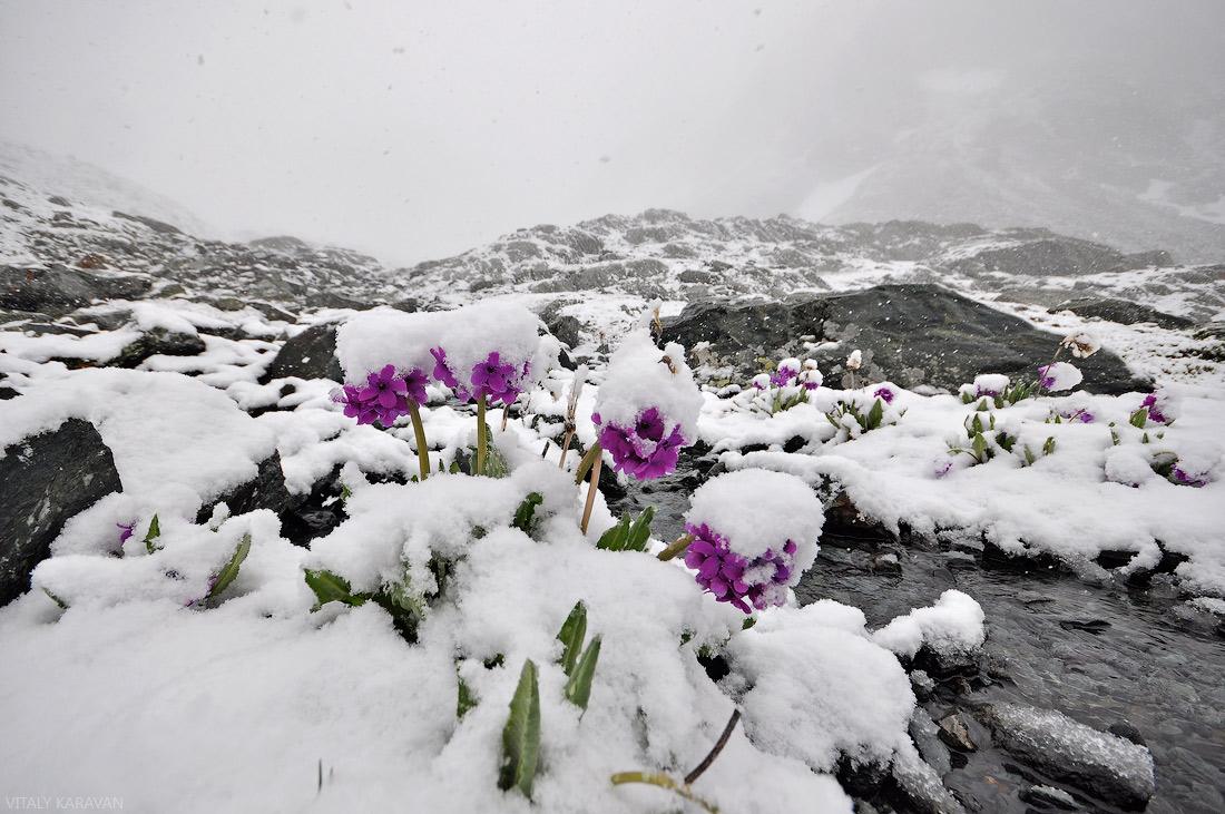 Цветы под снегом Алтай июль