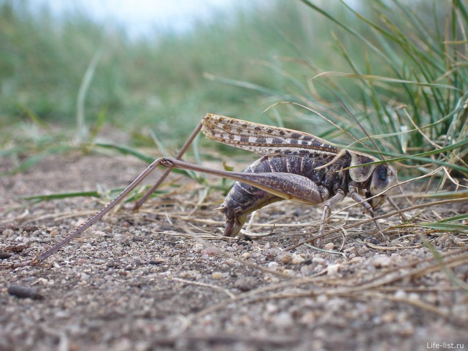 кузнечик насекомое