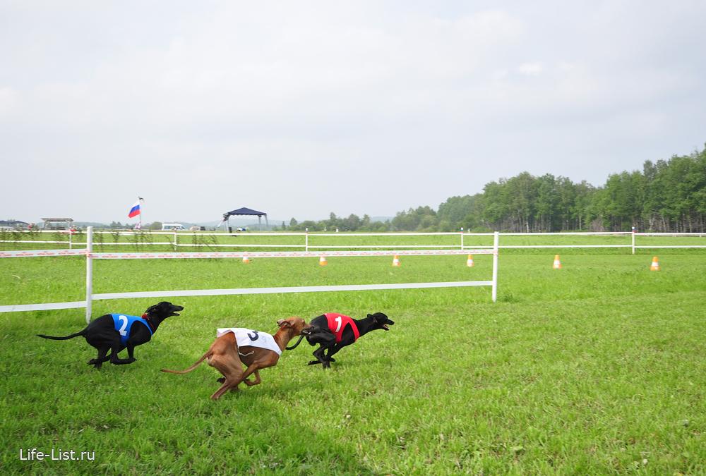 левретки на собачьих бегах в горном щите екатеринбург старт