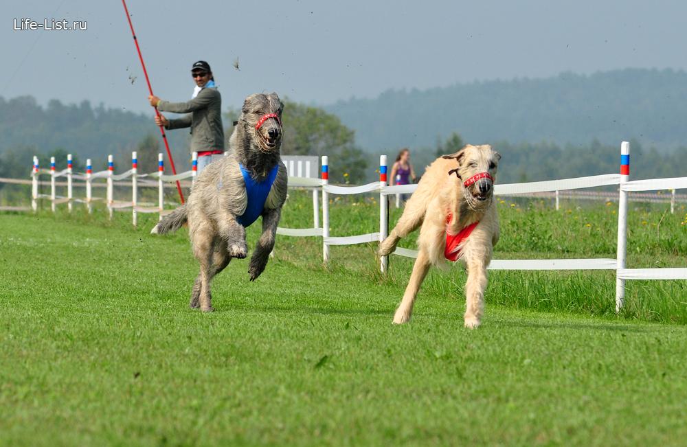 собачьи бега за механическим зайцем кинодром в Горном щите