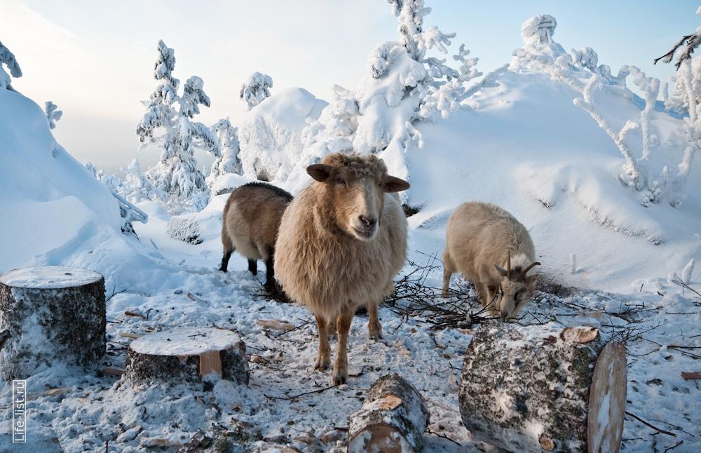 Живность козы и овцы в буддийком храме на горе Качканар