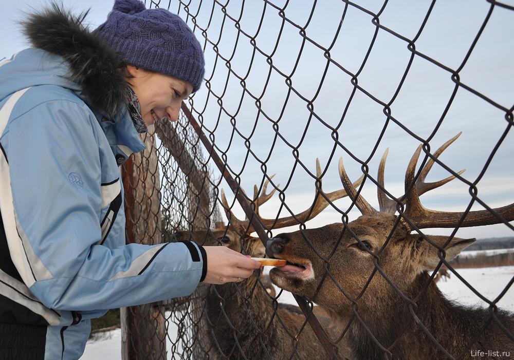 Оленеводческая ферма поселок Висим Женя кормит оленя